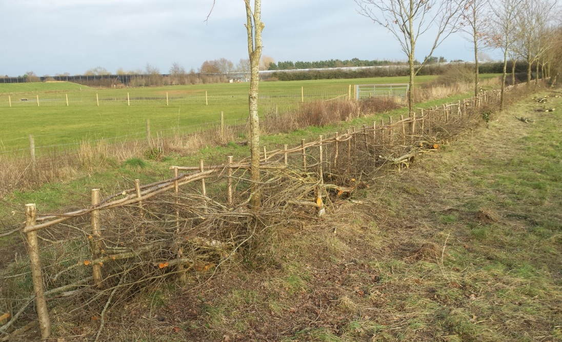 Binsted Nursery hedge laid