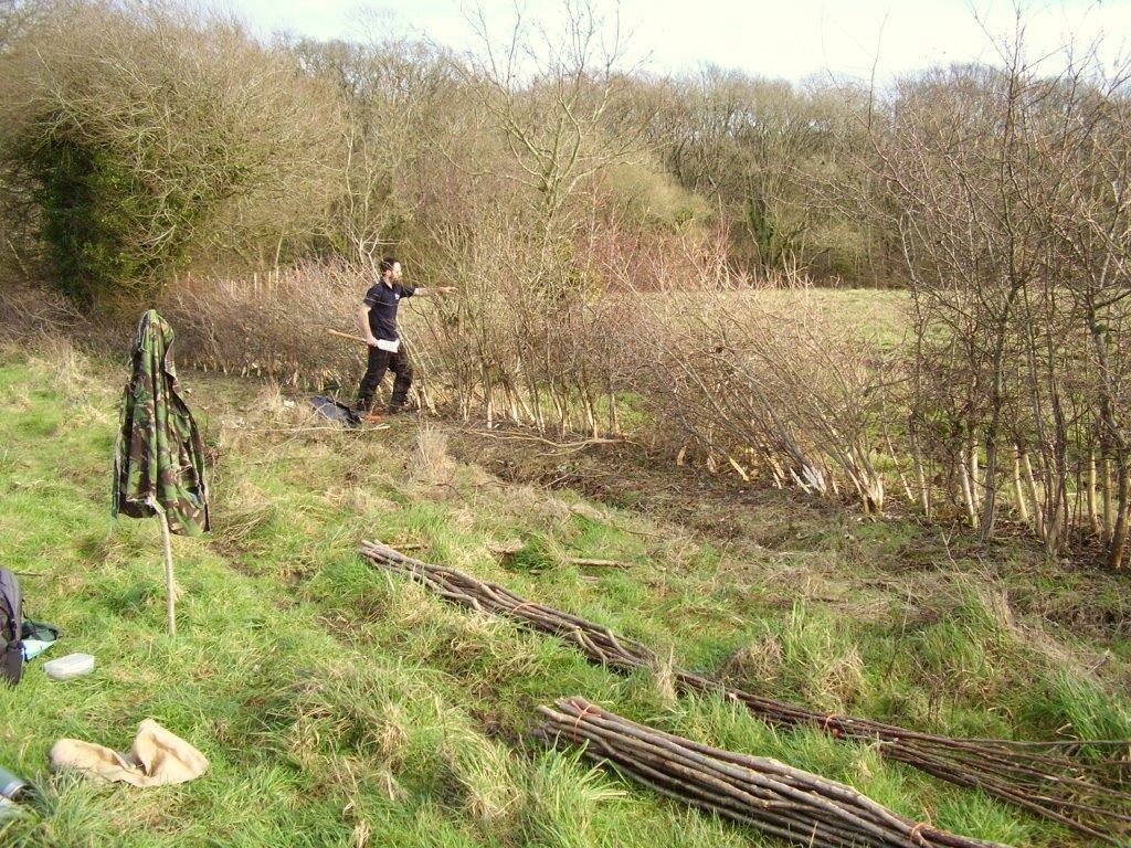 hedge laying in Binsted
