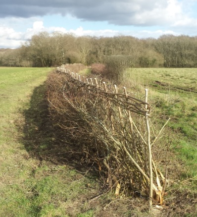 hedge laid at Scotland Lane Binsted